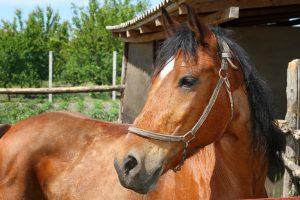 Wer ein Pferd kauft, sollte dieses gründlich prüfen, Verkäufer müssen Mängel beheben.